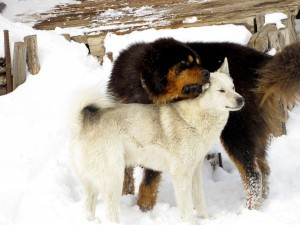A Bankhar in Terelj shows his Husky friend some love.