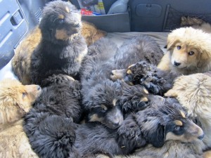 Carful of puppies. Nothing is cuter.