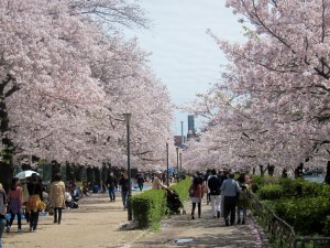 Families gather along the Kyū-Yodo River to picnic under the cherry blossoms.