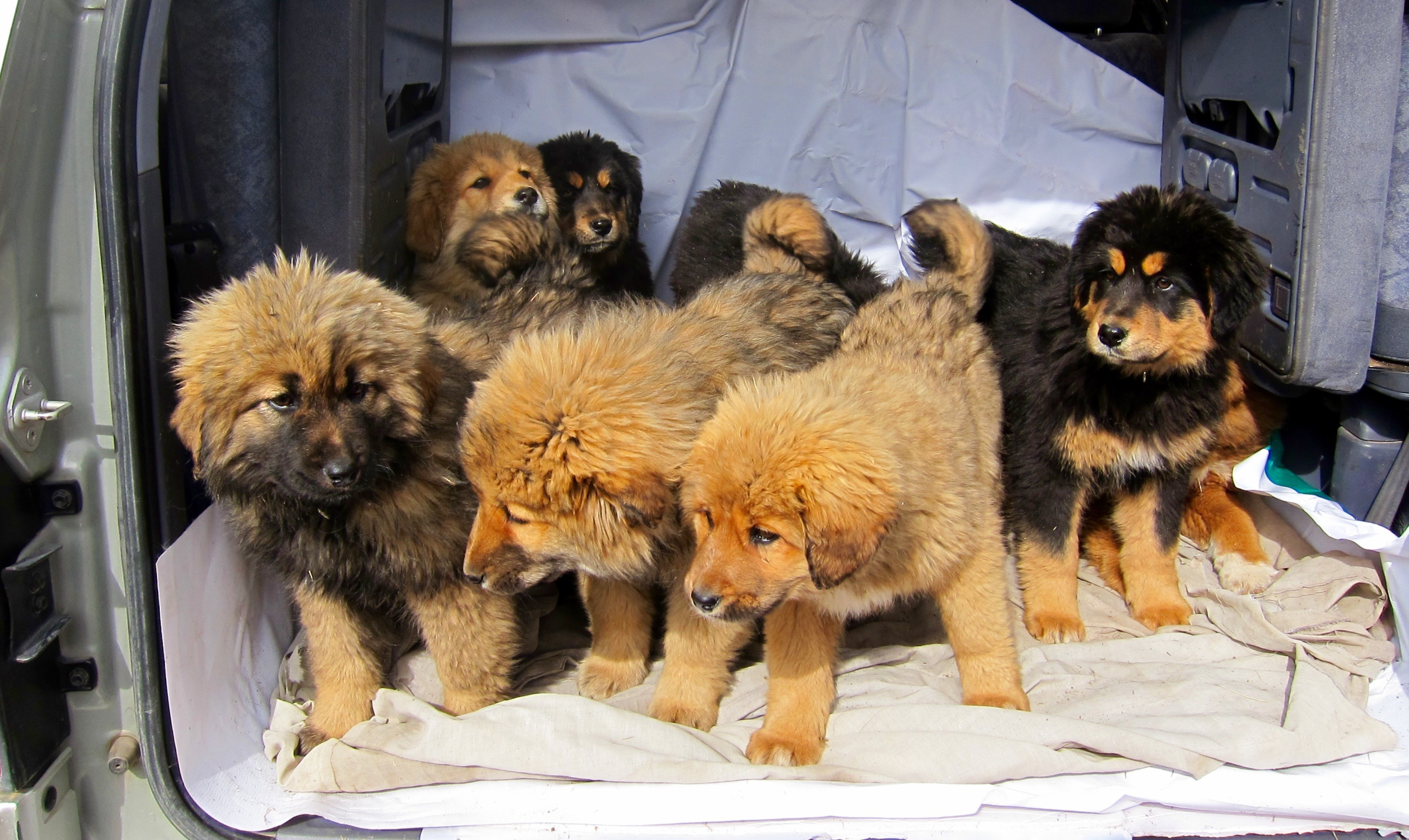 Taking the Bankhar puppies for their vaccinations.