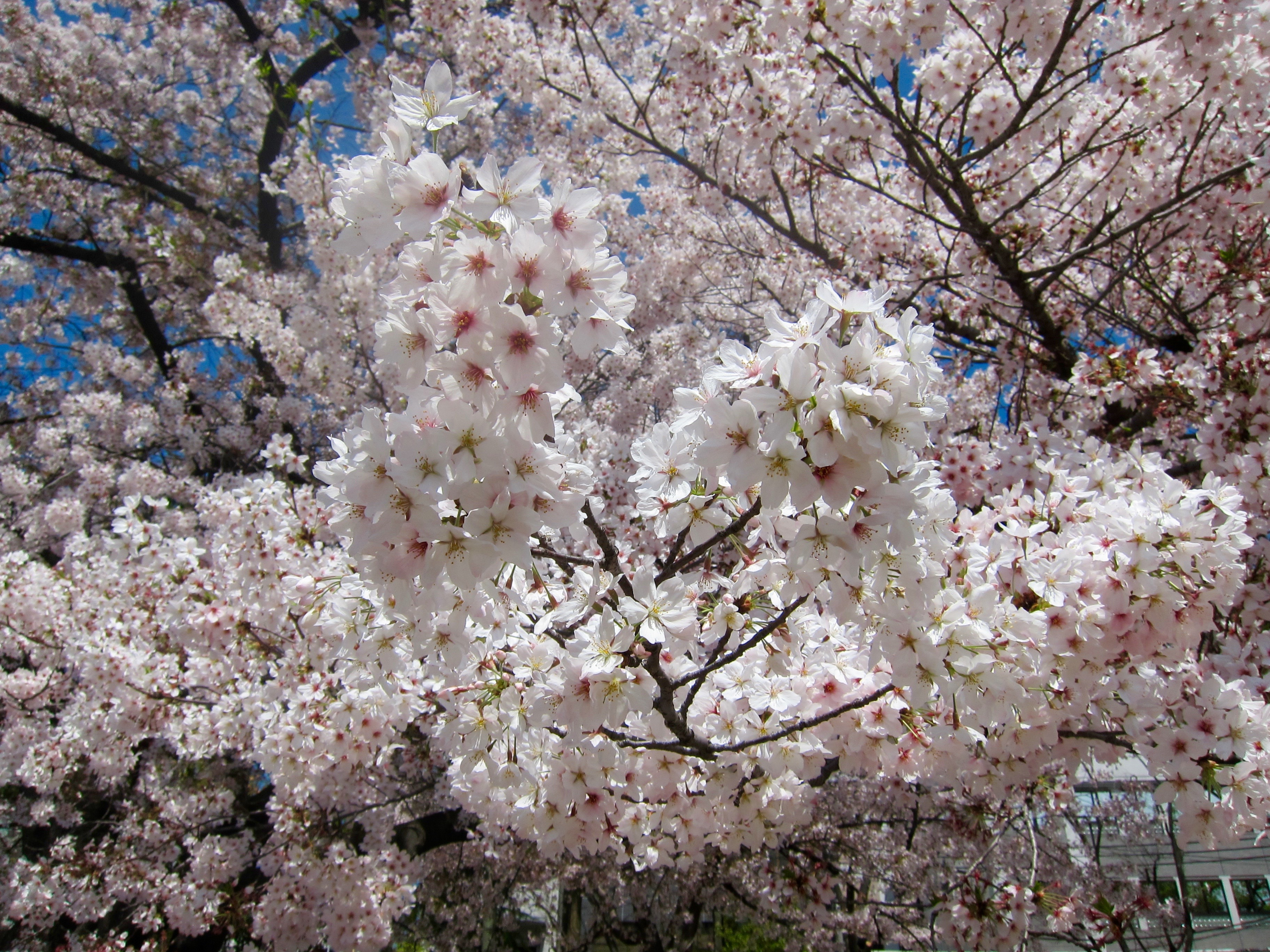 Cherries in full blown in Osaka, Japan.